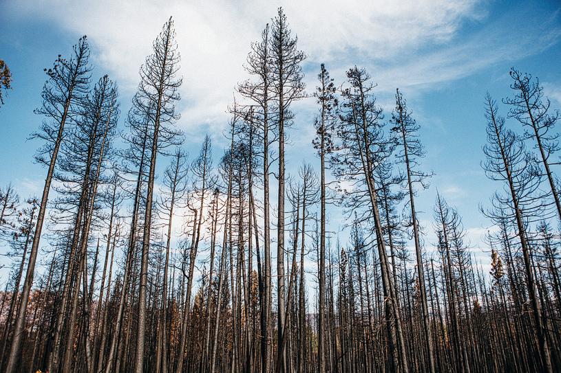 Dead trees in Yosemite